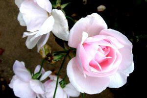 rose live