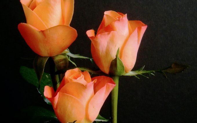 rose orange wallpaper download