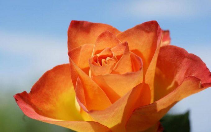 rose orange wallpaper free