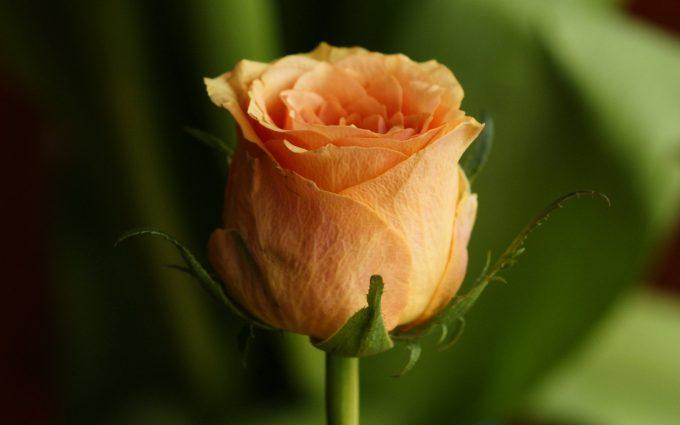 rose orange wallpaper hd