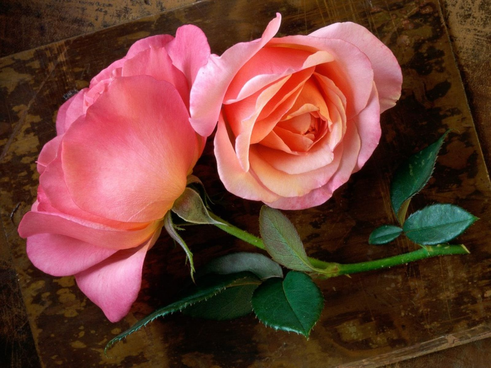 rose picture download