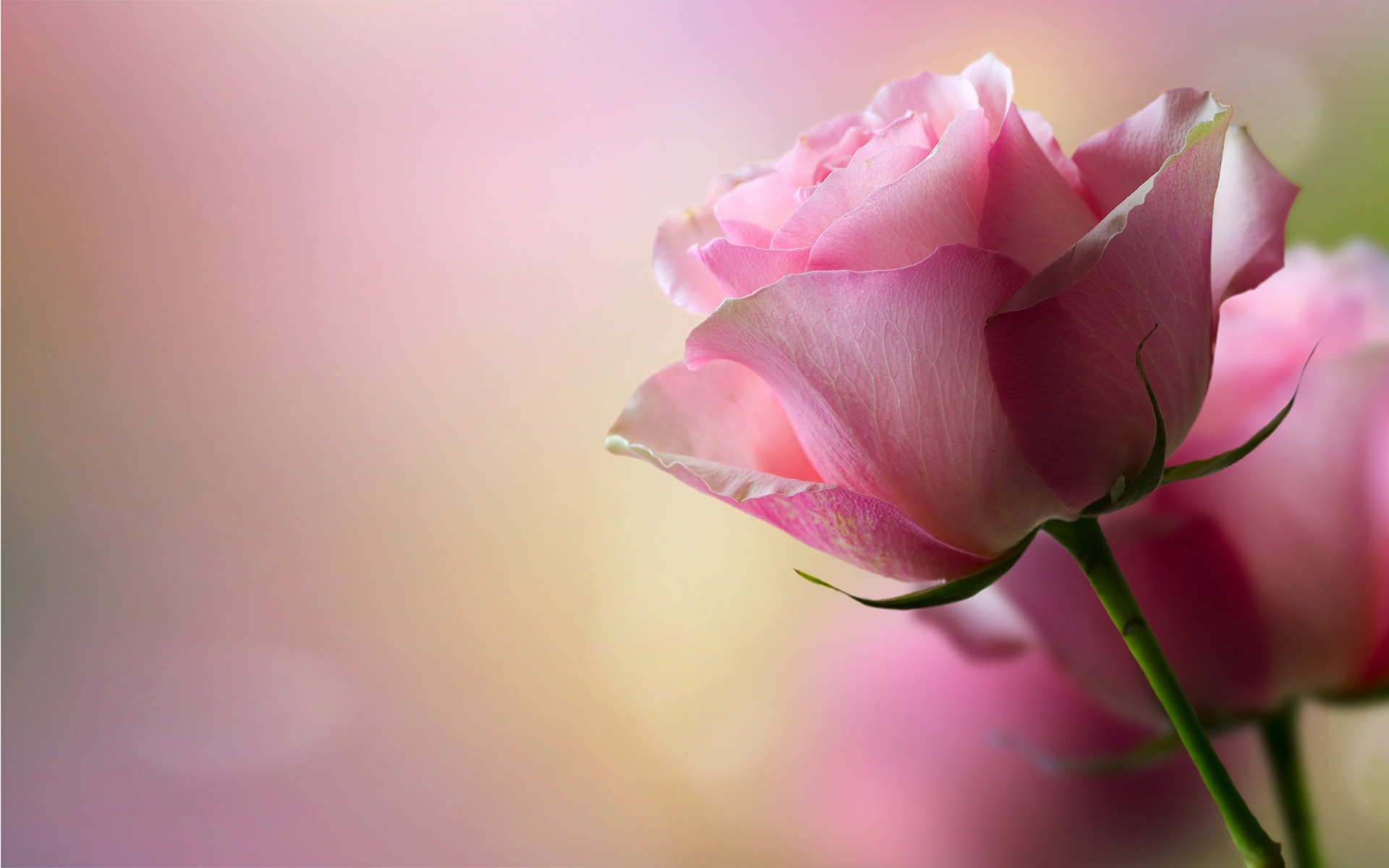 Rose pink wallpaper hd hd desktop wallpapers 4k hd - Pink rose hd wallpaper ...