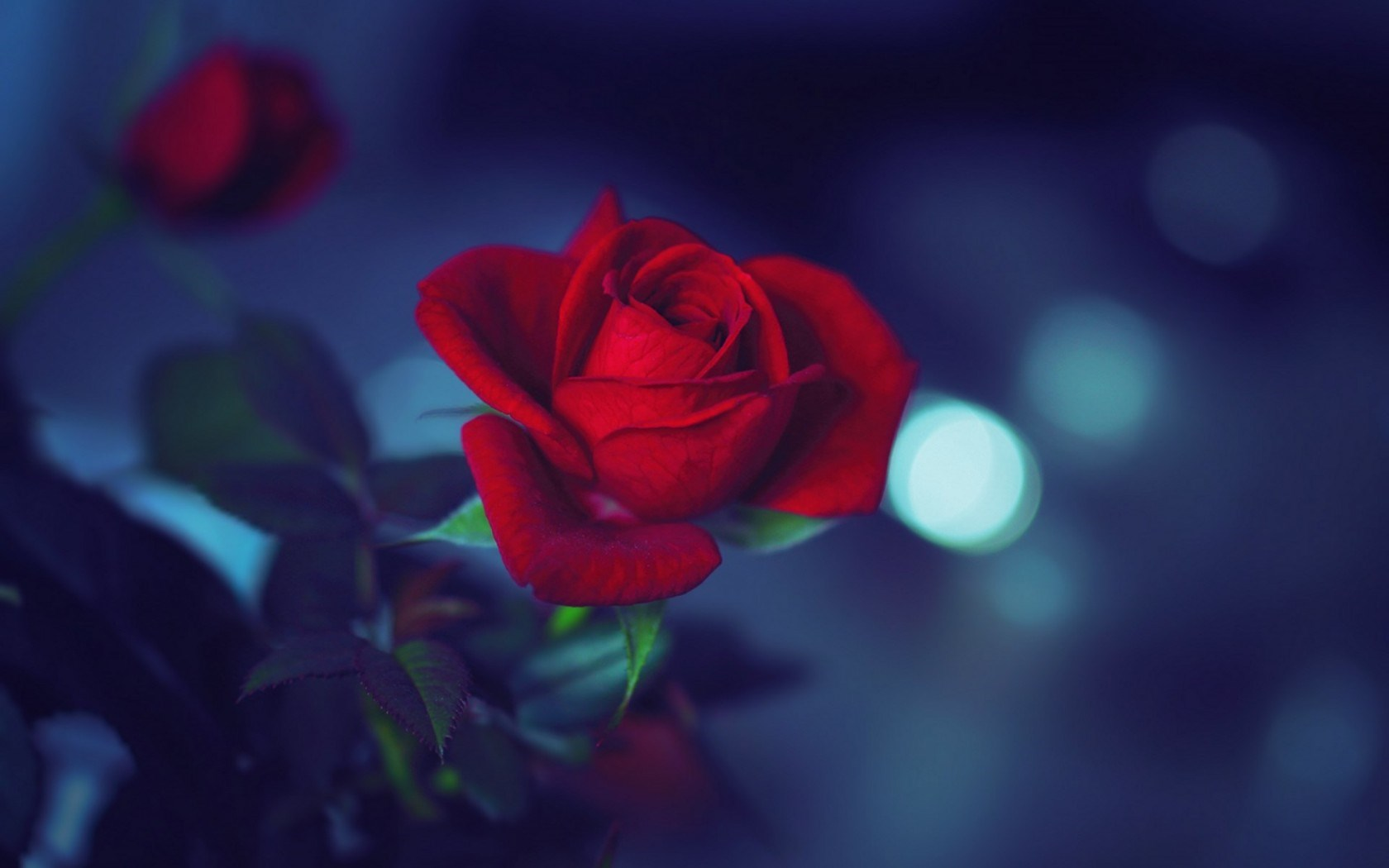 rose red wallpaper