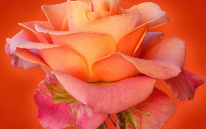 rose wallpaper free download