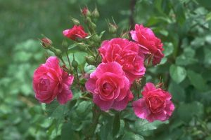roses pictures free download