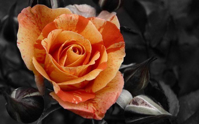 roses screensavers