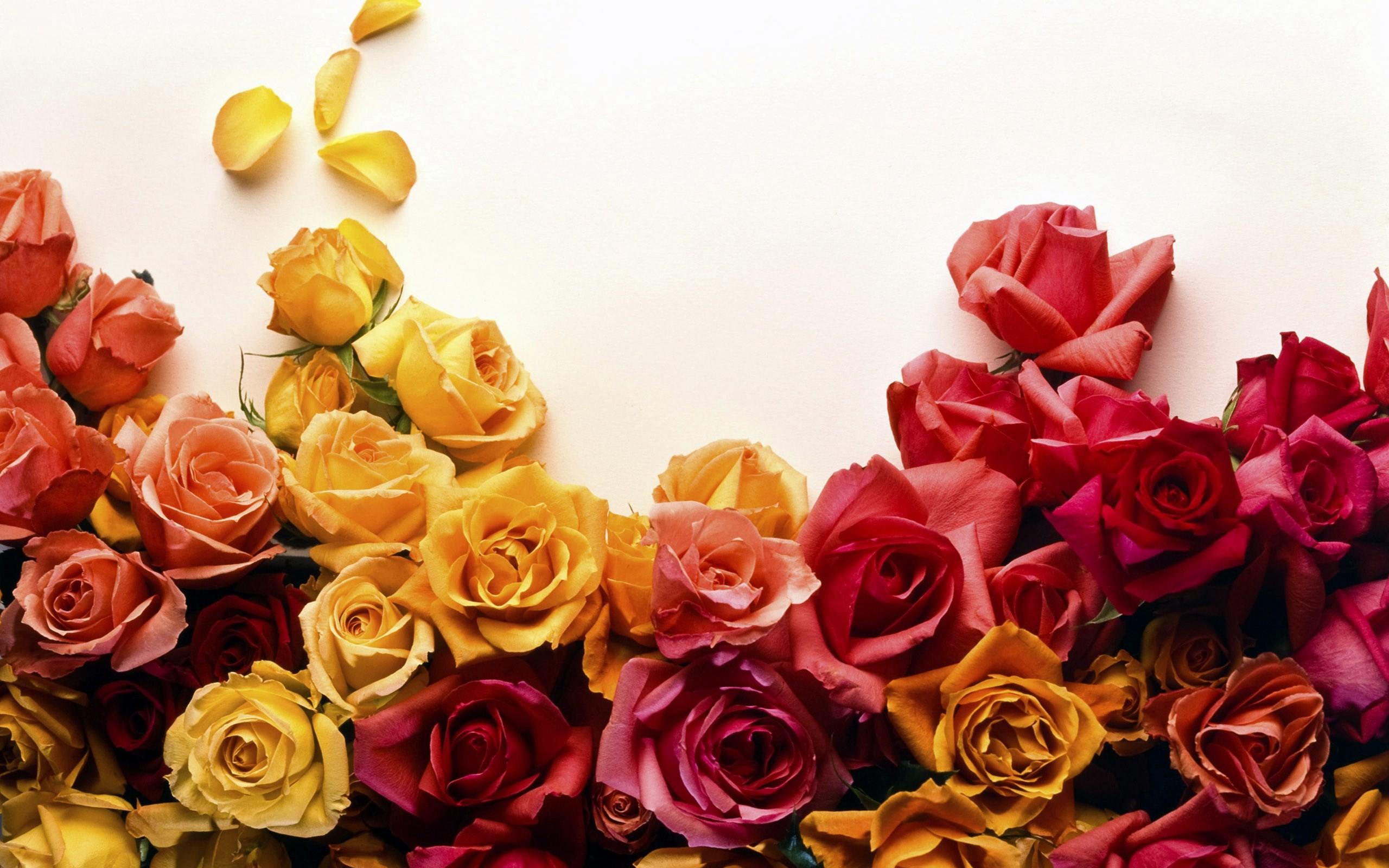 rosewallpaper