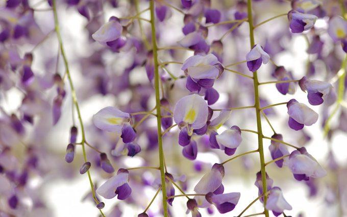 royal purple flowers