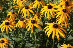 rudbeckia flowers A22