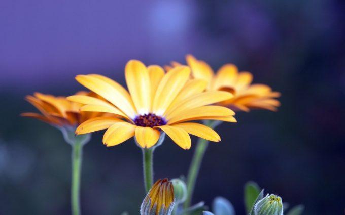 rudbeckia flowers hd backgrounds