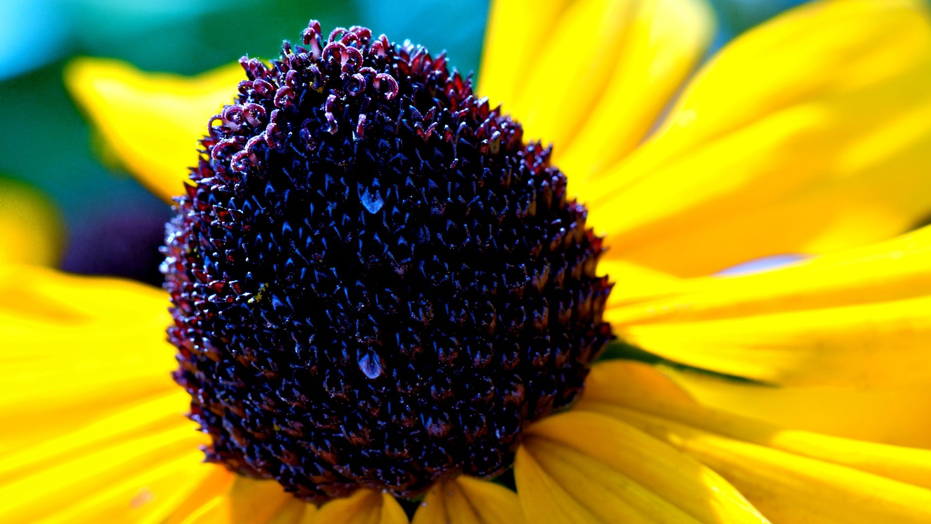 rudbeckia flowers hd