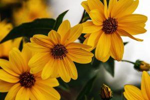 rudbeckia flowers wallpaper
