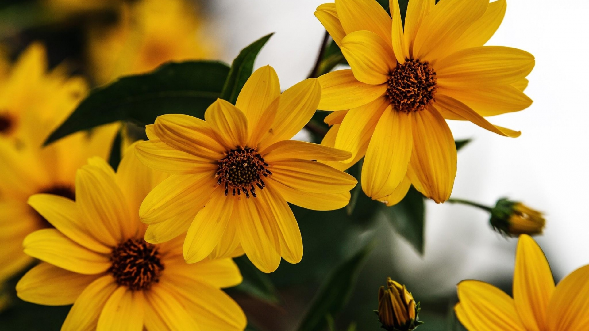 rudbeckia flowers wallpaper