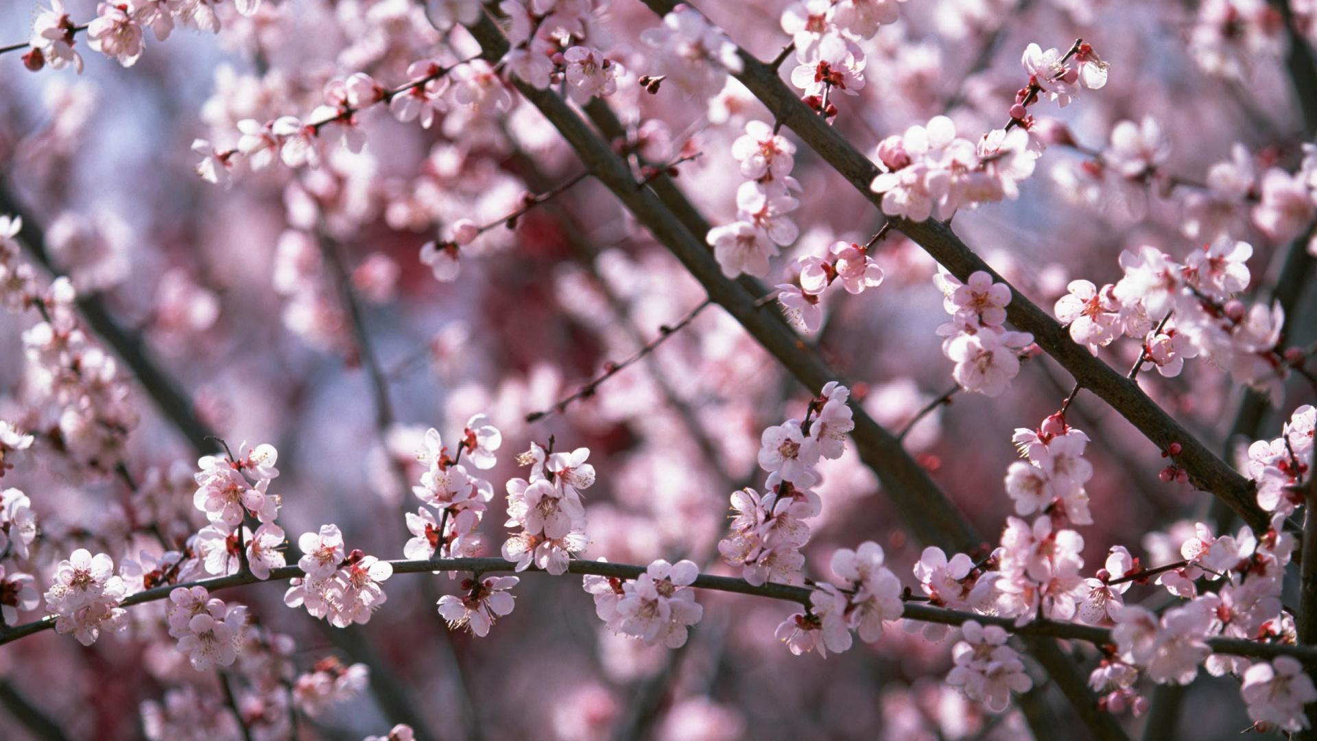 sakura flowers A2