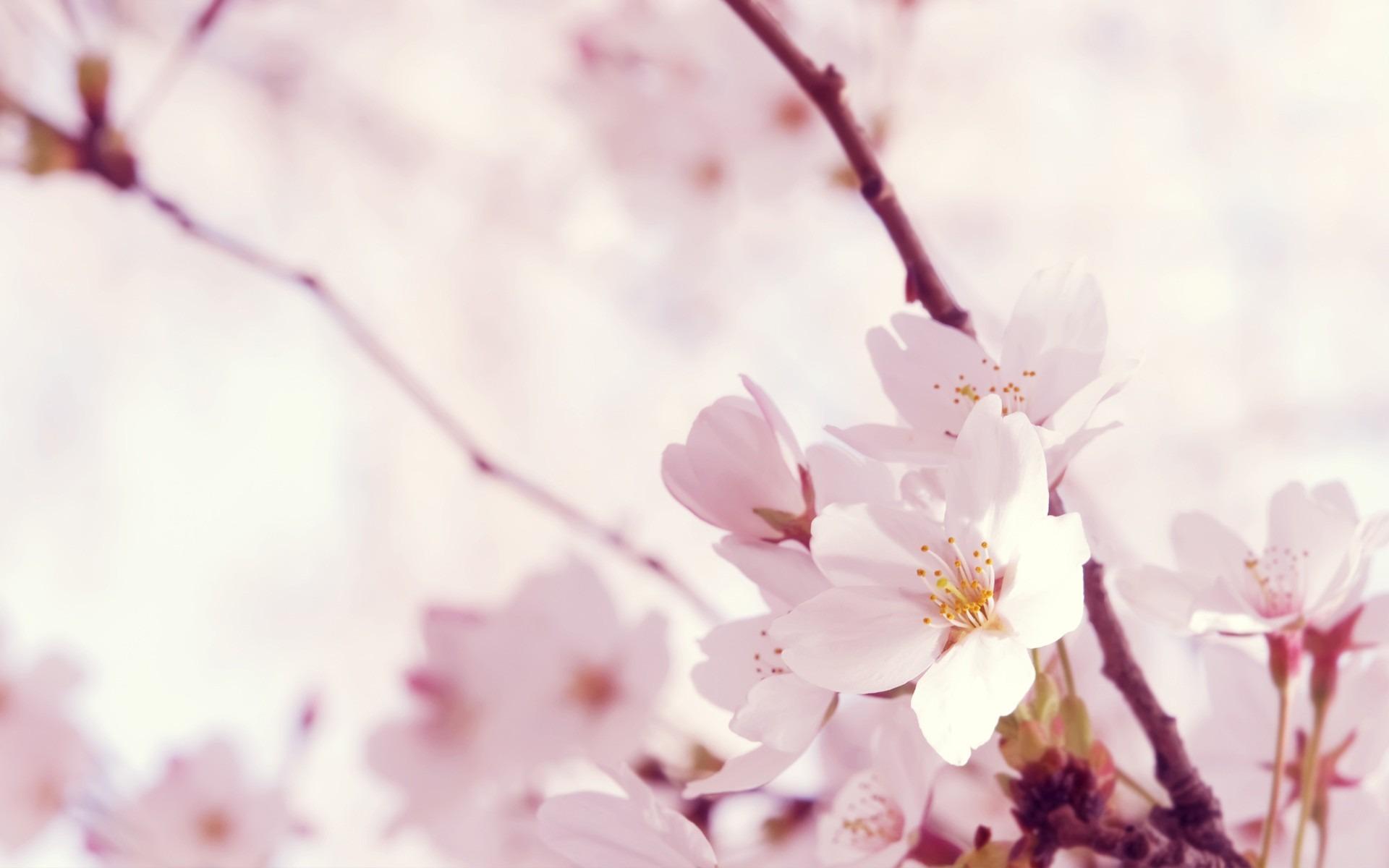 sakura flowers A3
