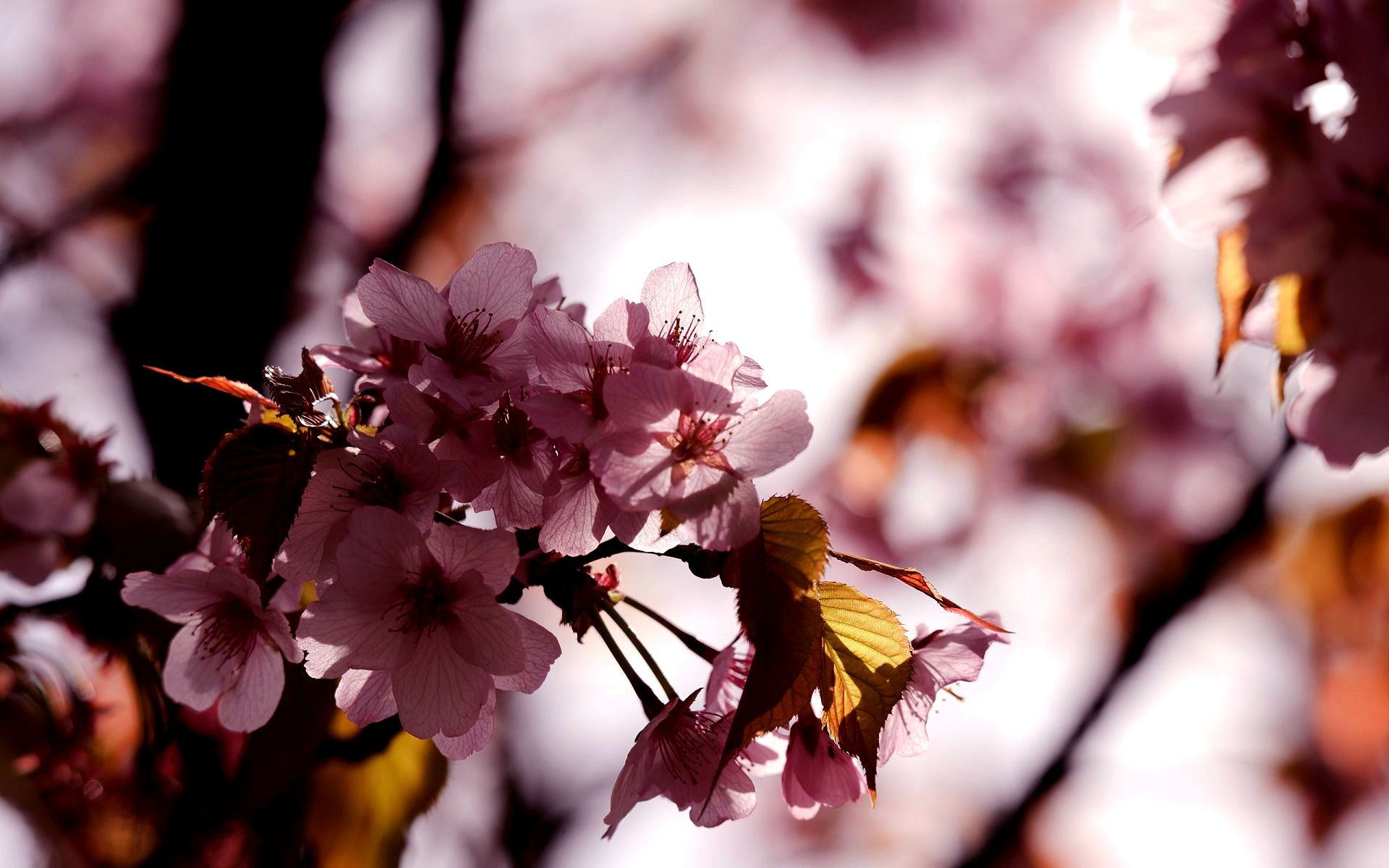 sakura flowers A4