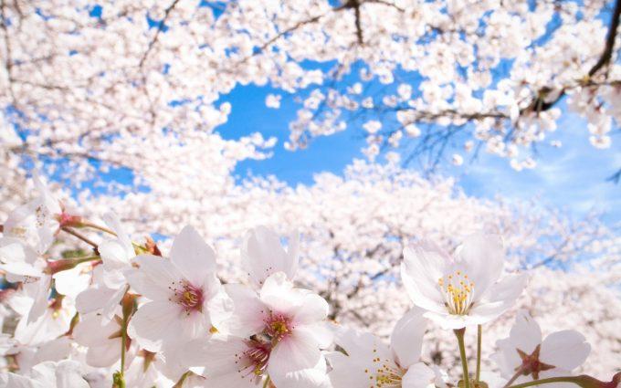 sakura wallpaper 1080p