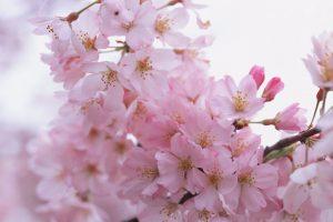 sakura wallpaper backgrounds