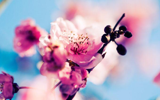 sakura wallpaper desktop