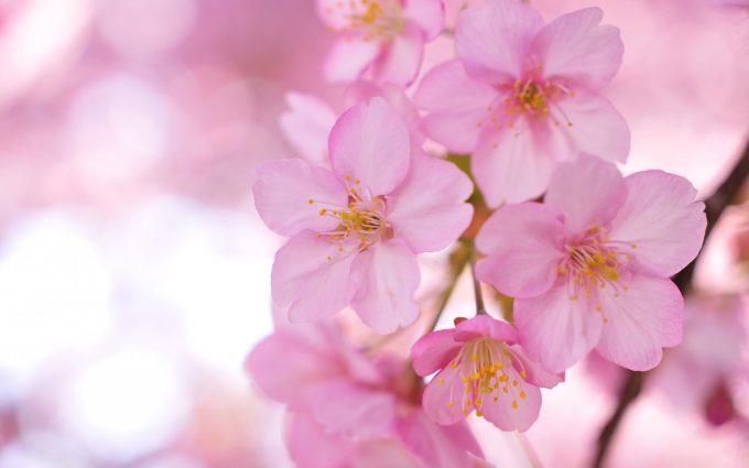 sakura wallpaper free