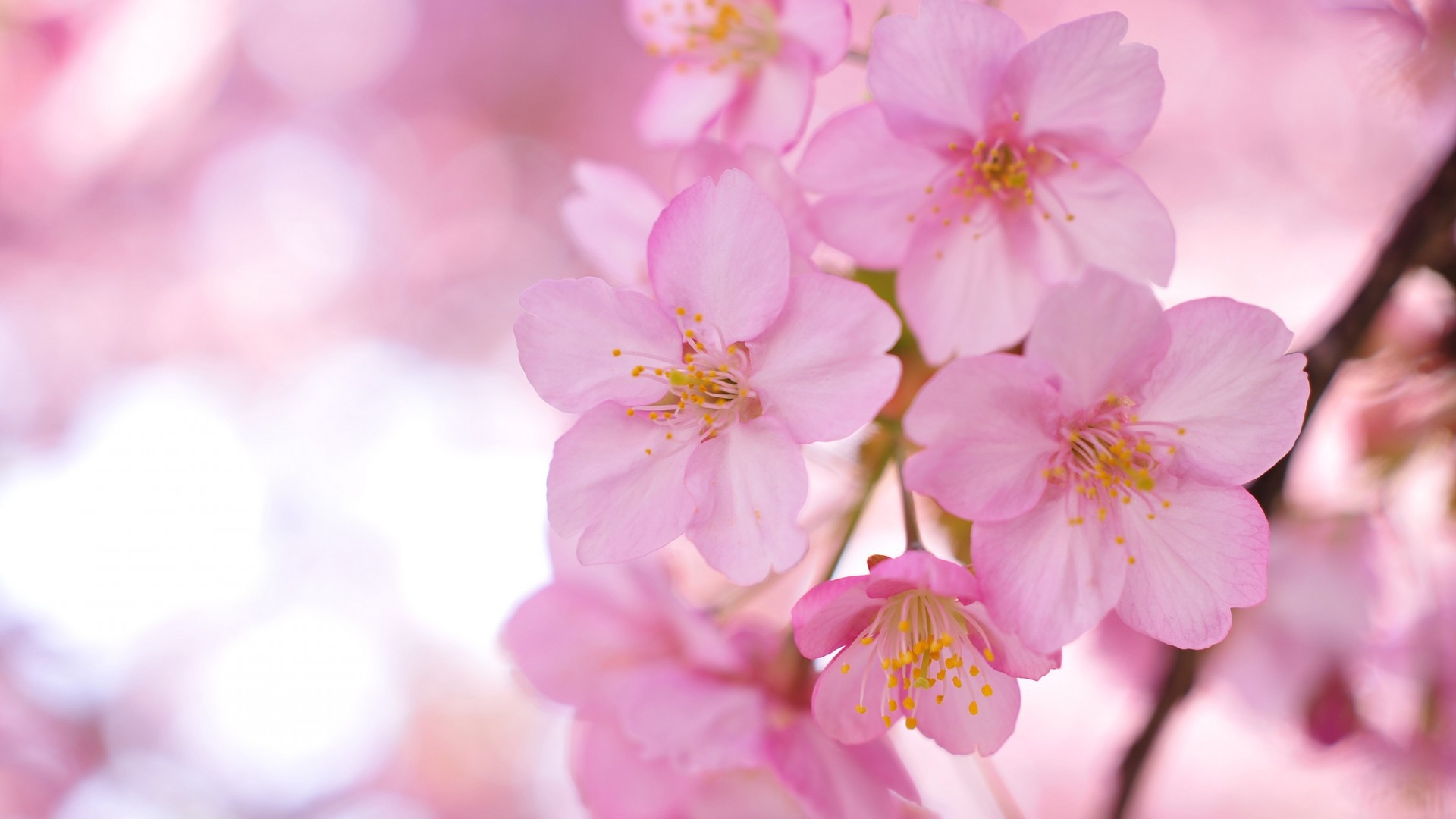 sakura wallpaper free