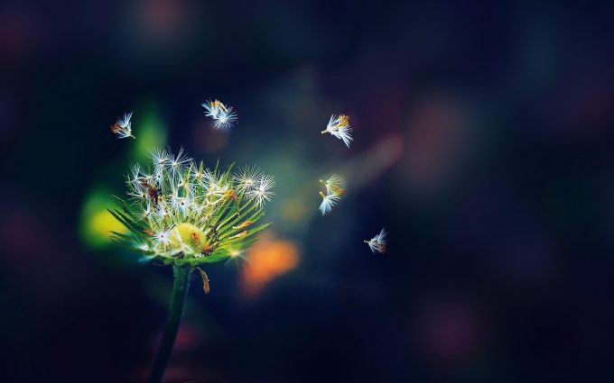 seeds wallpaper dandelion