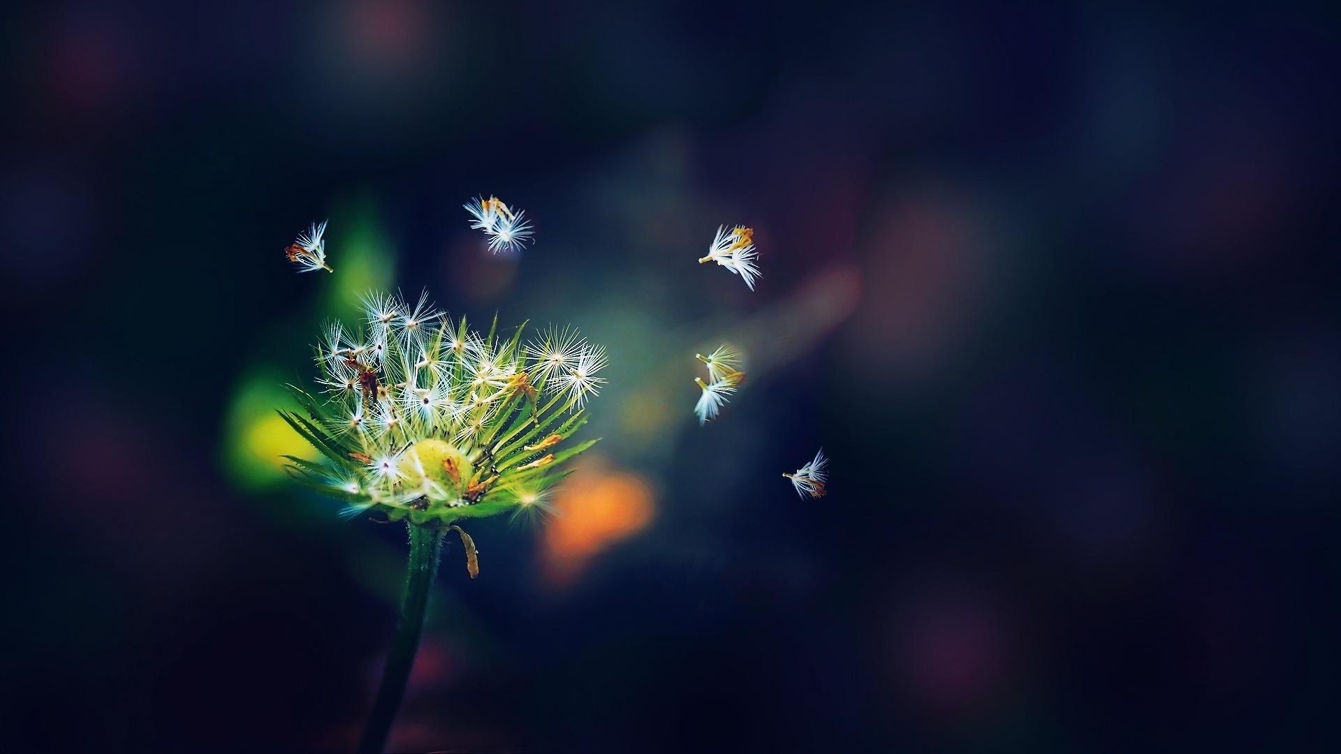 seeds wallpaper dandelion