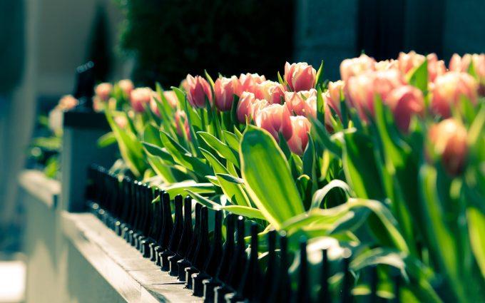 spring city flowers tulips