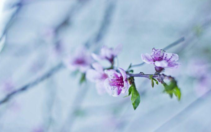 spring peach flowers