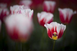 spring tulips pink