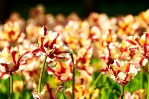 striped tulips