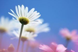 summer flowers free