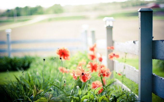 summer flowers poppies fence macro