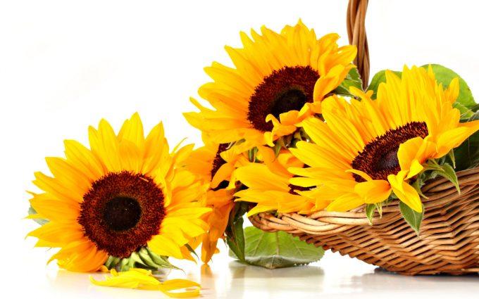 sun flower hd