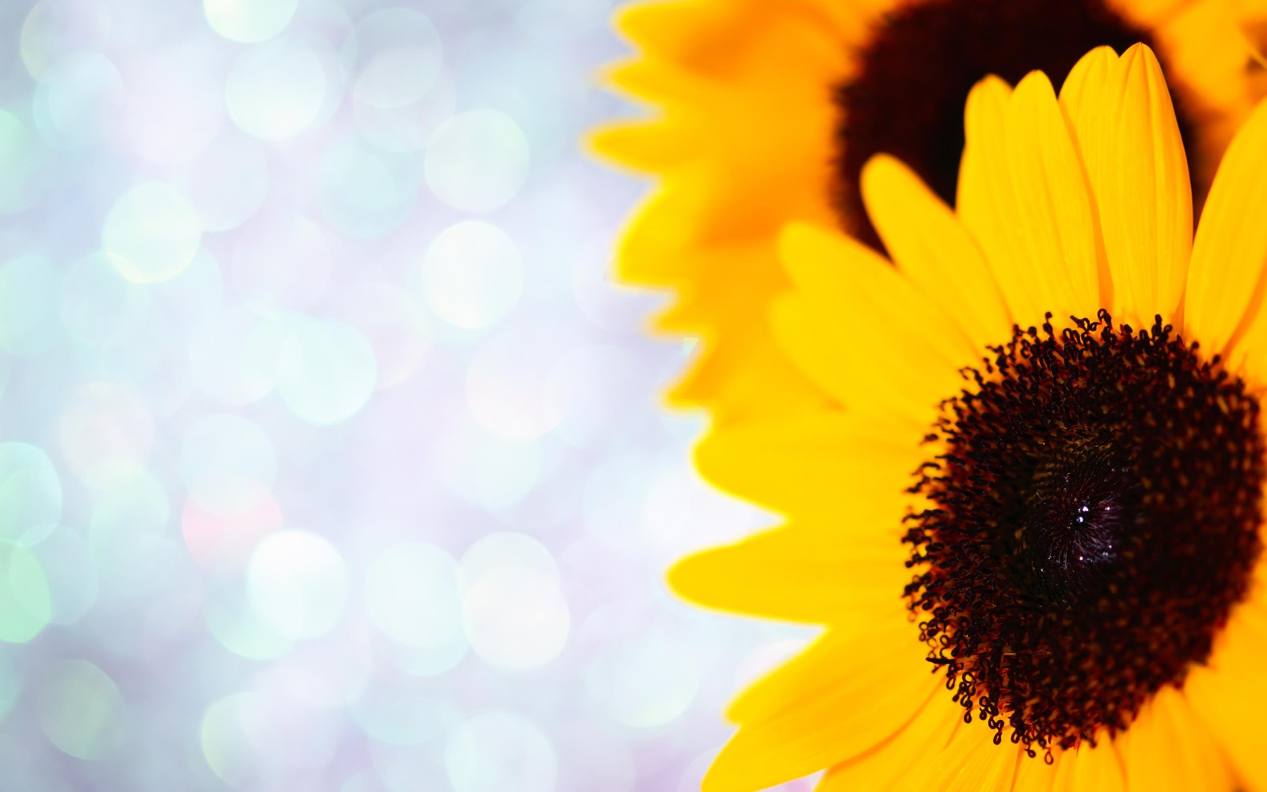 sun flower image