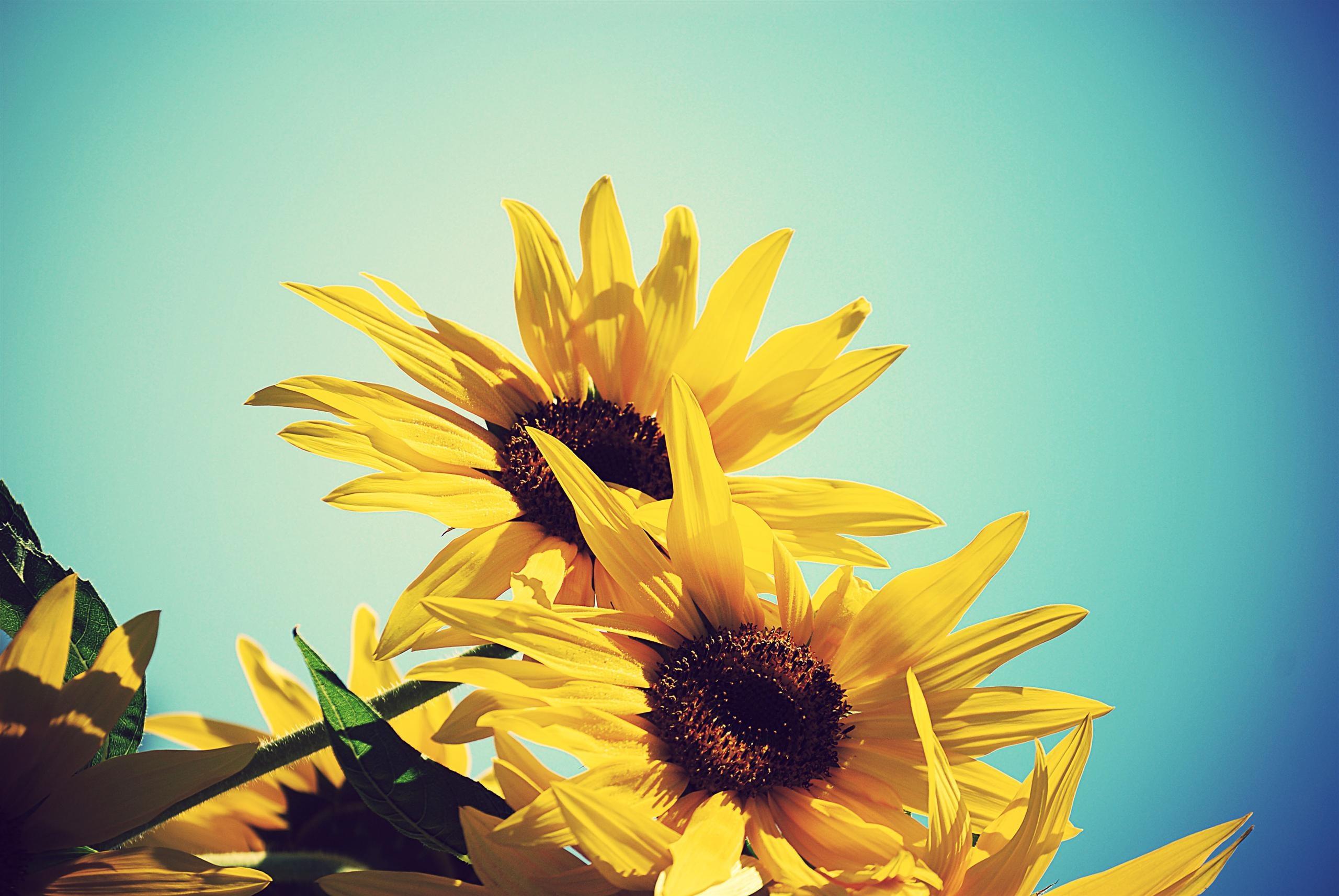 Sun Flower Walpaper
