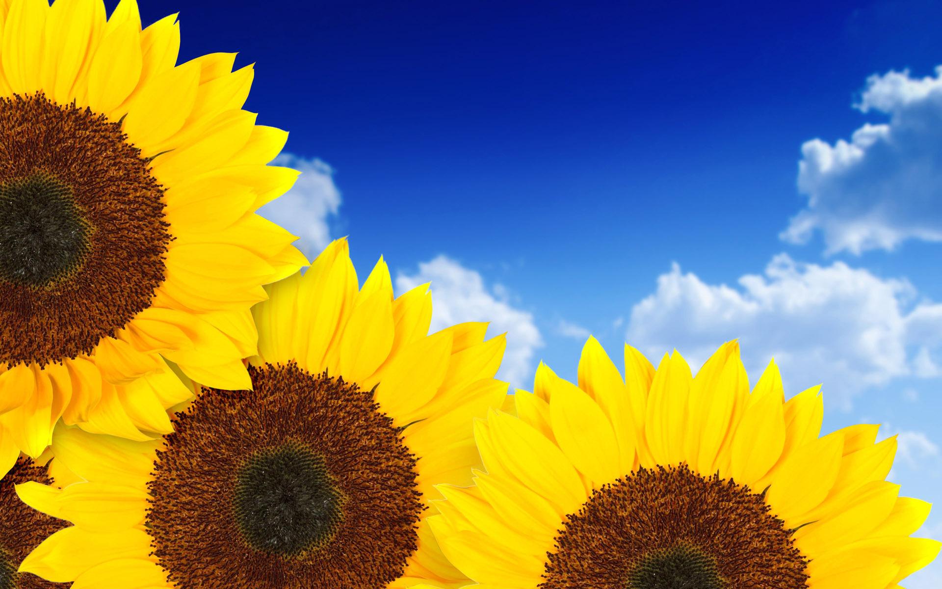 sun flowers photo