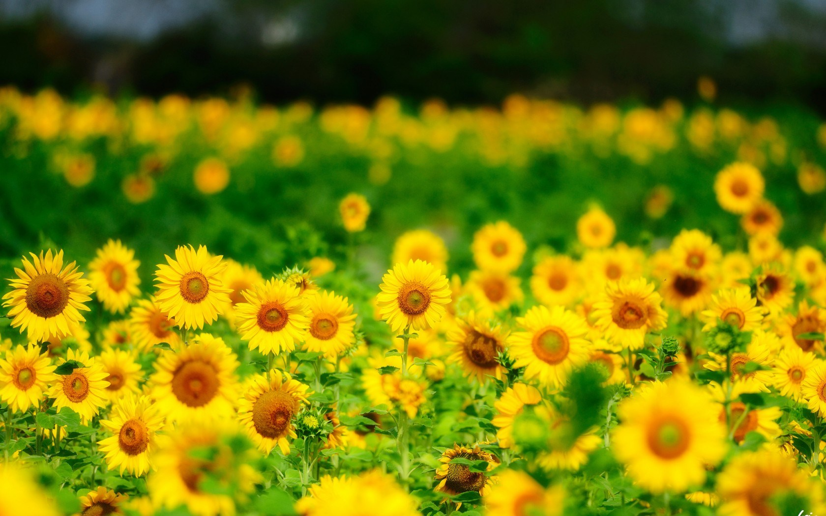 sunflower background images