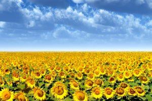 sunflower flower images