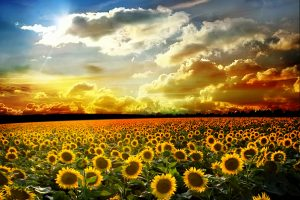 sunflower images free