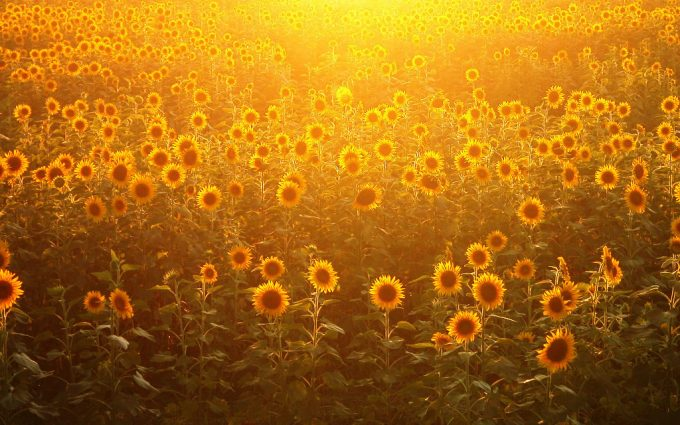 sunflower images gallery
