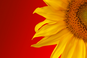 sunflower pictures for kids