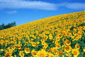 sunflower pictures wallpaper