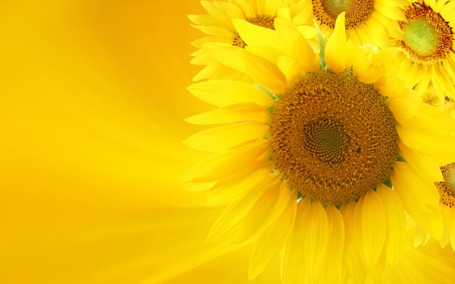 sunflower plant images