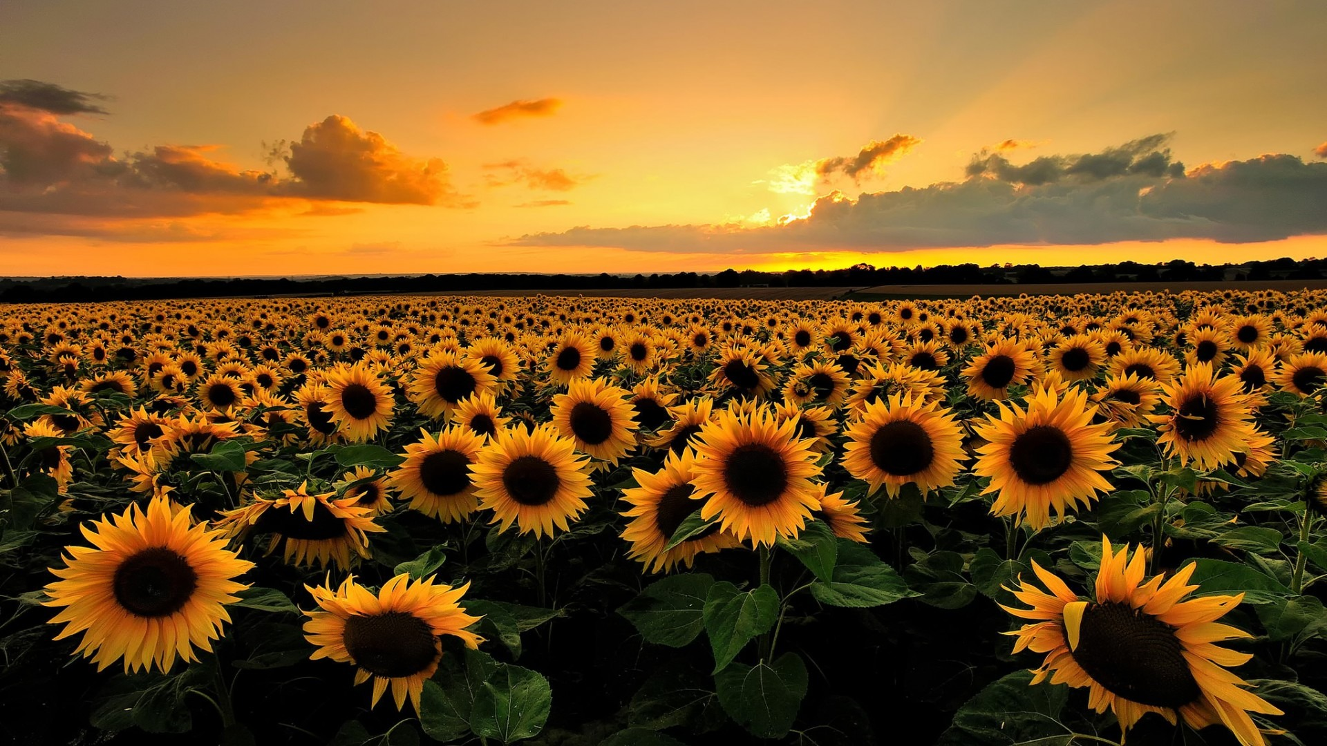 sunflower plant pictures