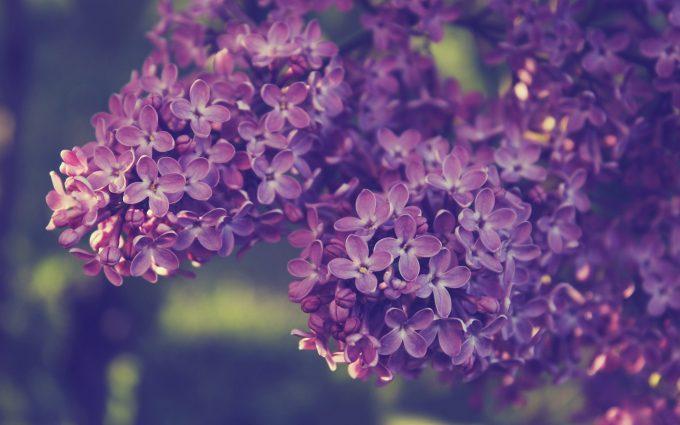 syringa lilac flowers