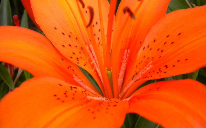 tiger lily flower backgrounds