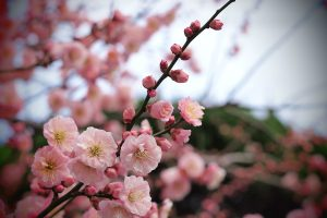 tree apricot pink flowers