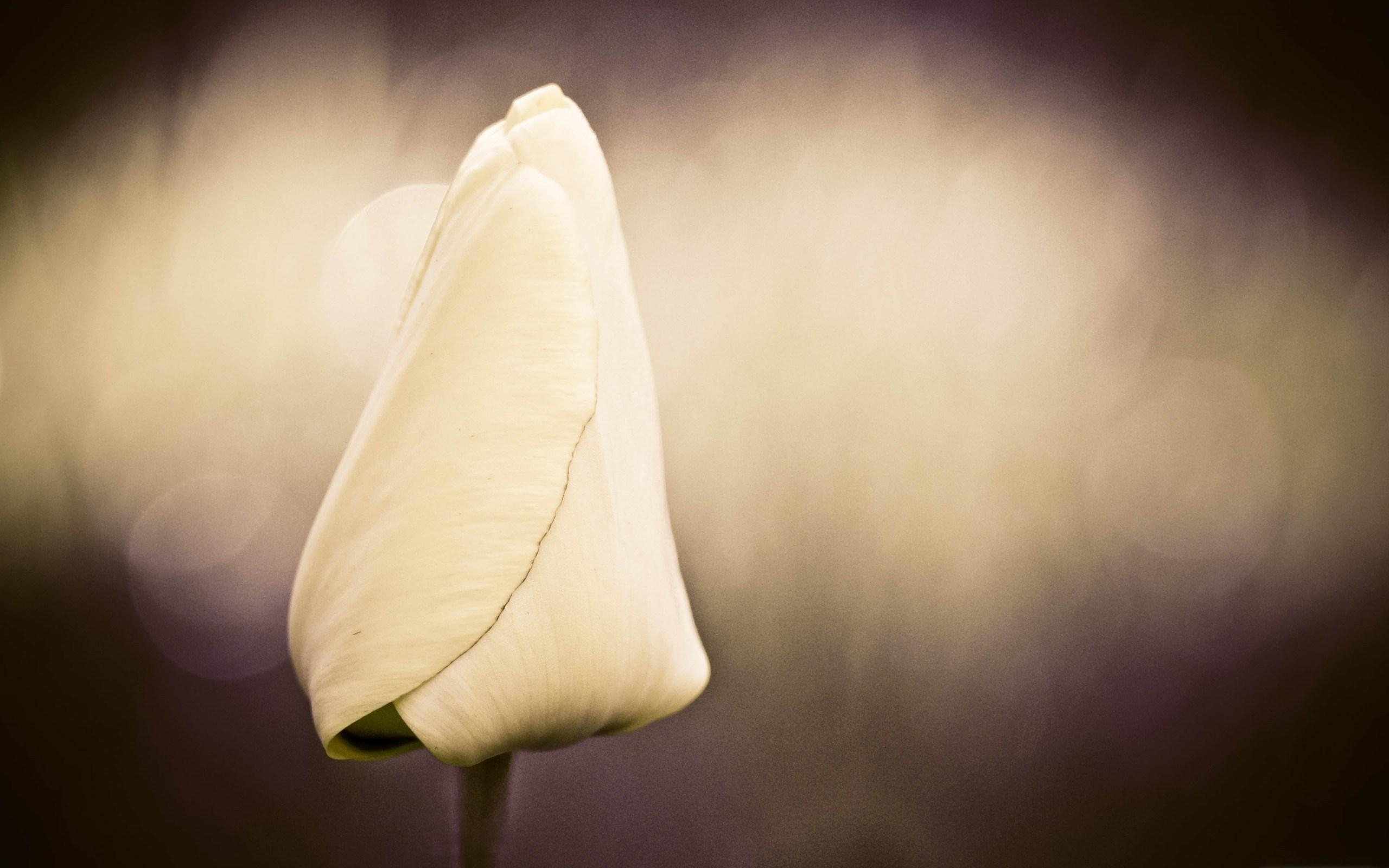 tulip bokeh