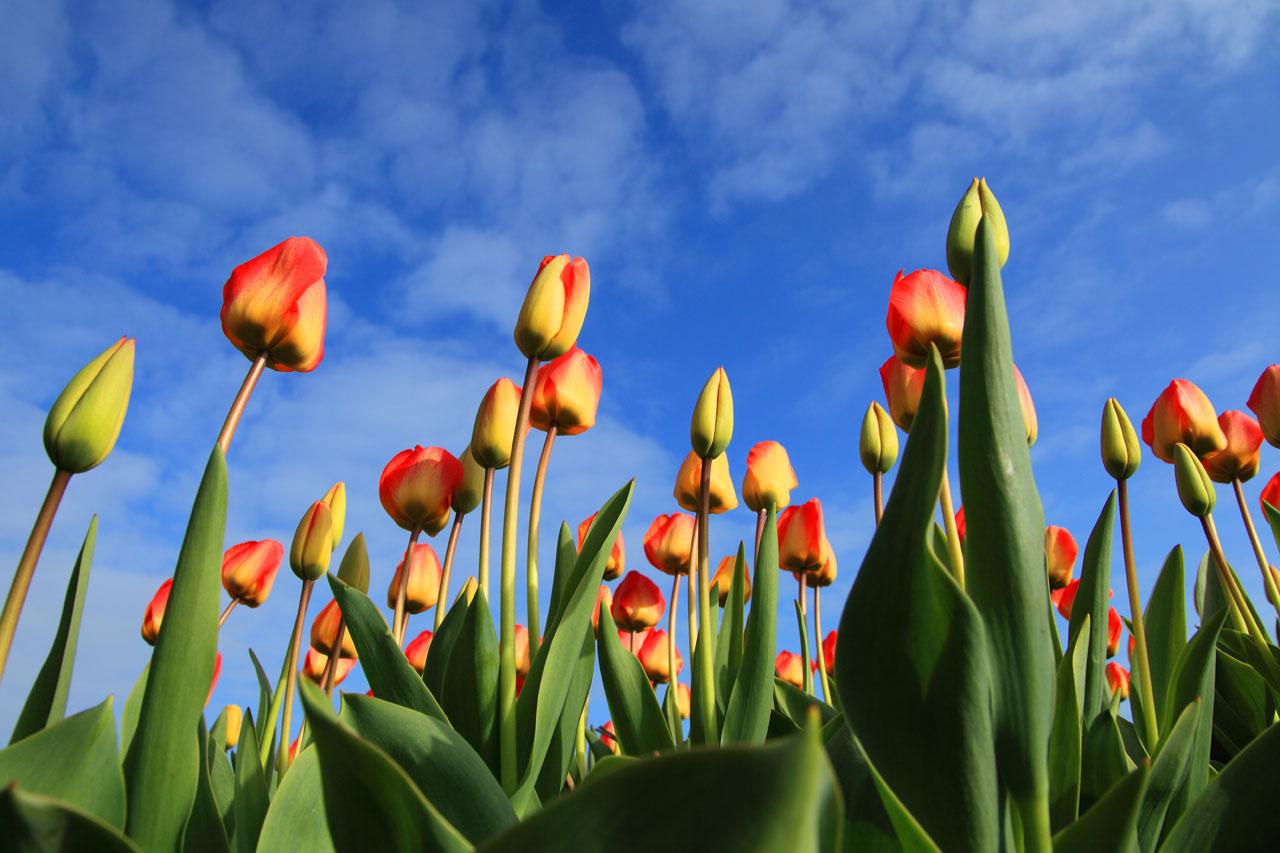 tulip bouquets pictures
